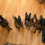 Foster malinois getting the dog pack training treatment.