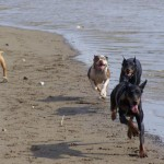 Pit bulls expelling energy with their dobe friends.